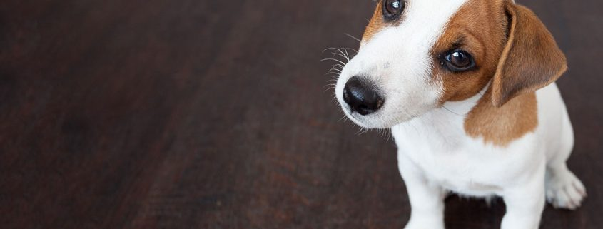 cane leishmaniosi